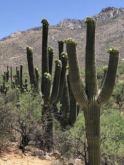 Saguaro, Blooming, Cactus, Desert, Arizona, Plant