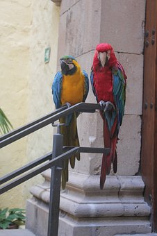 Parrots, Canary Islands, Bird