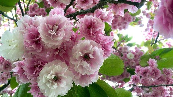 Cherry Blossom, Blossom, Cherry Blossoms, Pink, Spring