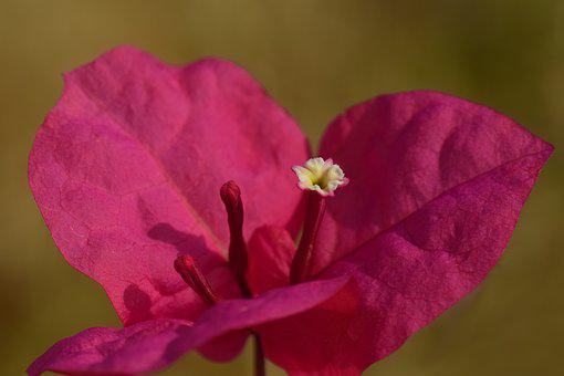 Bougainvillea, Bougainville, Triple Flower, Close