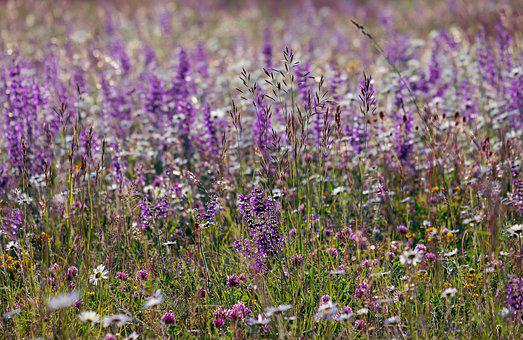 Wild Sage, Flowers, Color, Meadow, Wild Flower, Sage