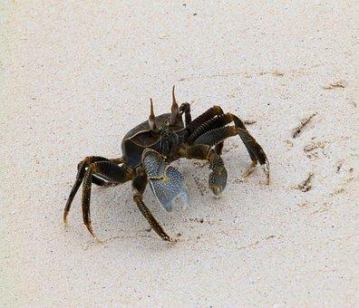 Crab, Beach, Shellfish