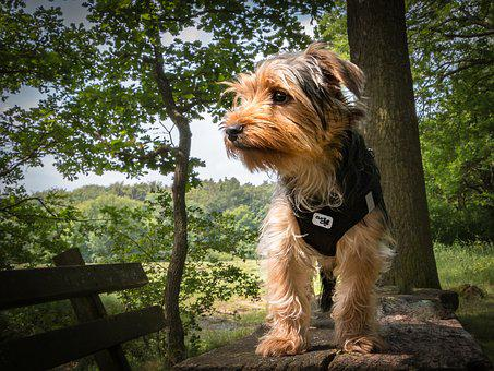 Yorkshire Terrier, Dog, Terrier, Small Dog