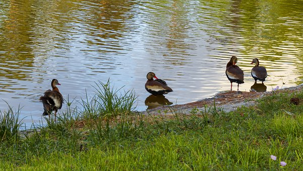 Duck, Waterfowl, Pond, Reflection, Wildlife, Nature