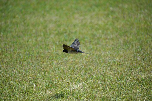 Animal, Park, Lawn, Bird, Wild Birds, Yan, Feathers