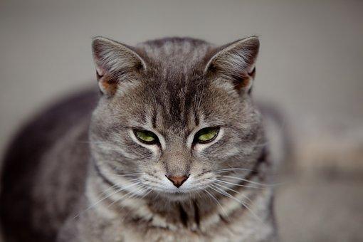 Cat, Feline, Kitty, Gray