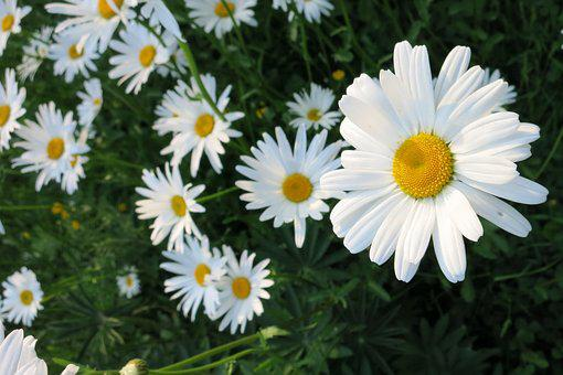 Flower, White, Marguerite, Daisy, Spring, Field