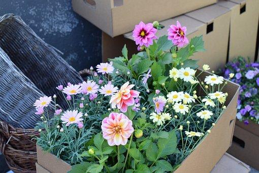 Dahlia, Pink, Garden, Flower, Summer, Green, Colors