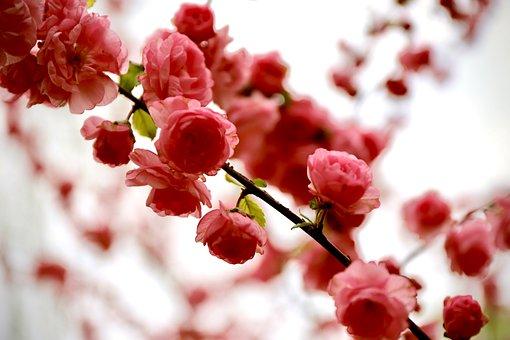 Blossom, Pink, Romantic, Spring, Nature, Bloom, Flower
