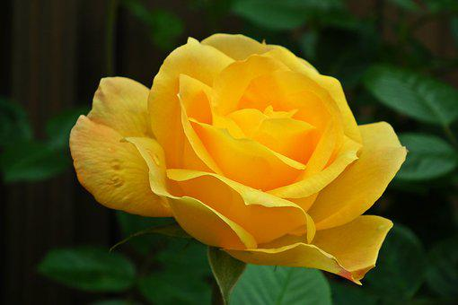 Flower, Rose, Rose Petals, Yellow Rose, Macro, Spring