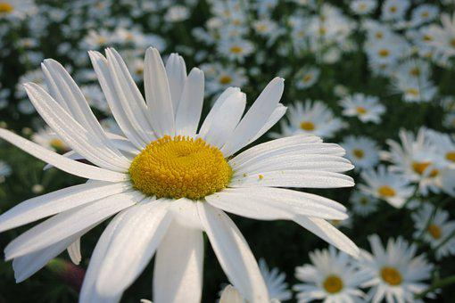 Marguerite, Pollen, Yellow Heart, Petals, Flowering