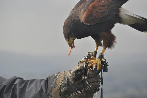Falcon, Falconry, Food Chain, England, Yorkshire, Hawk