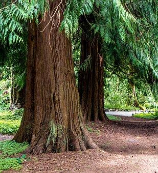 Path Through The Cedars, Trees, Forest, Hike, Trail