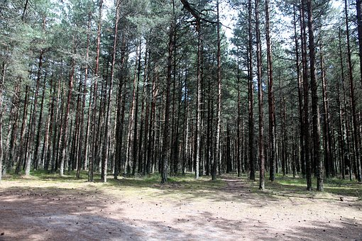 Forest, Coniferous Forest, Nature, Trees, Summer