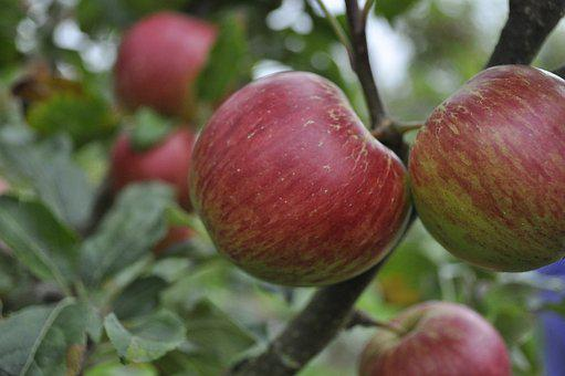 Orchard, Apple, Tree, Apple Orchard, Fruit, Agriculture