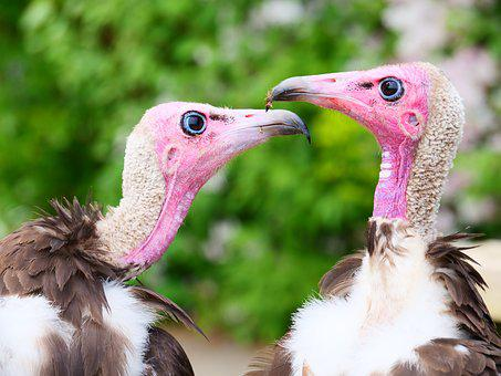 Vultures, Hooded Vultures, Bird, Wildlife, Nature