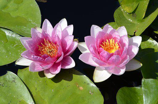 Lillies, Pond, Water Lillies, Water, Lilly, Flower