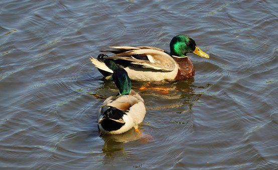 Ducks, Drake, Male, Early Summer, Feather, Mallards