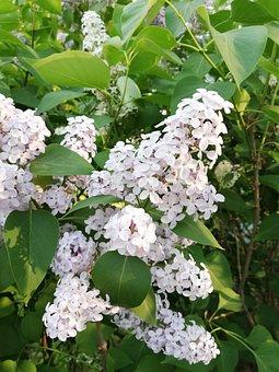Lilac, Spring, May, Nature