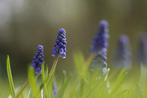 Muscari, Green, Summer, Spring, Light, Sun, Grass