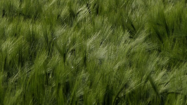 Landscape, Nature, Agriculture, Cereals, Wheat