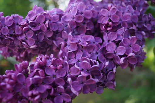 Lilac, Purple, Strong, Splendor, Close, Nature, Blossom