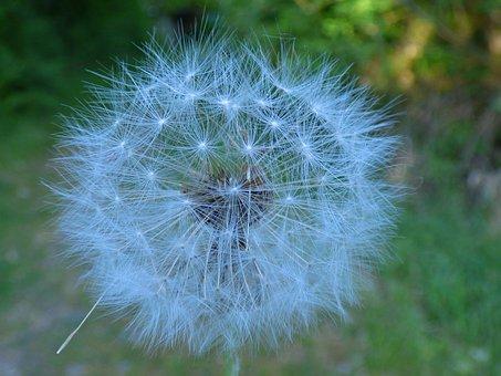 Dandelion, Flower, Close, Nature, Plant, Wild Flower