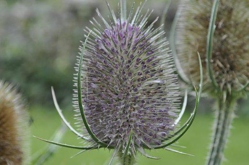 Thistle, England, Scotland, Flower, Nature, Summer, Uk