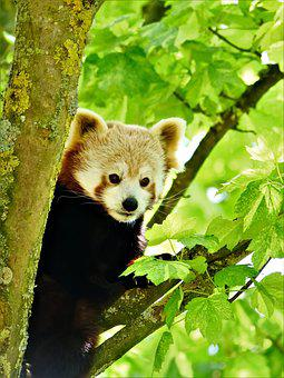Red Panda, Panda, Wildlife, Animal, Nature, Cute, Bear