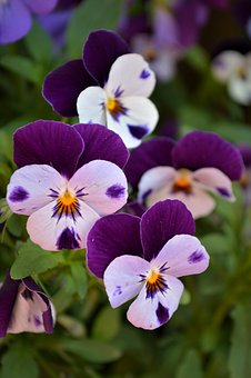 Pansy, Flowers, Spring, Close, Violet, Blossom, Bloom