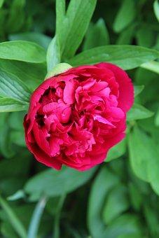 Peony, Peony Red, Red Flowers, Flowering
