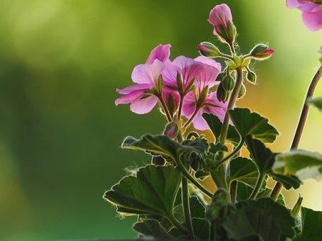 Flower, Peralgonia, Nature, Plant, Flower Pot, Spring