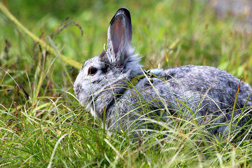 Rabbit, A Pet Rabbit, Gray Rabbit, Animal, Cute, Pet