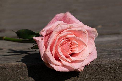 Rose, Pink, Rose Bloom, Blossom, Bloom, Pink Rose