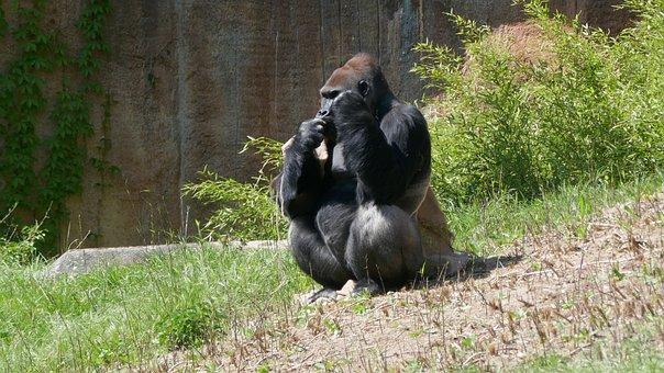 Gorilla, Ape, Threatened, Primates, Enclosure, Playful