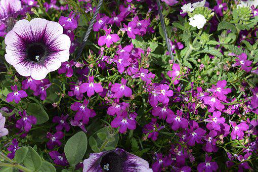 Purple, Flower, Flowers, Purple Flower, Garden, Summer
