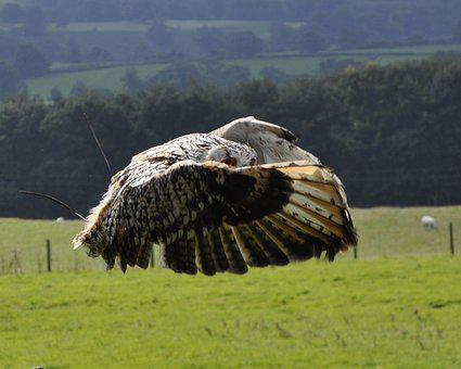 Owl, Flight, Bengal, Bird, Wildlife, Raptor, Wings
