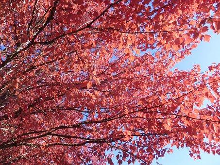 Tree, Leaves, Red, Autumn, Nature, Foliage, Colorful