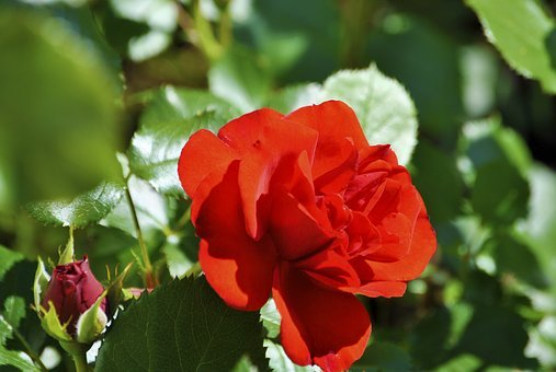 Bud, Rose, Red Roses, Nature, Blossom, Bloom, Flower