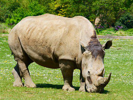 Rhino, Rhinoceros, Animal, Wildlife, Mammal, Safari