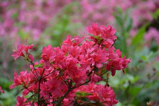 Azalea, Flower, Azaleas, Pink, Spring, Rhododendron