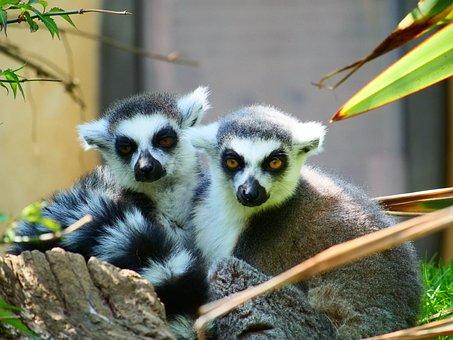Lemur, Ring Tailed Lemur, Wildlife, Animal, Primate