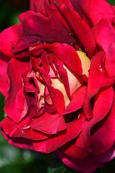 Red, Rose, Red Rose, Flower, Petals, Rose Blooms