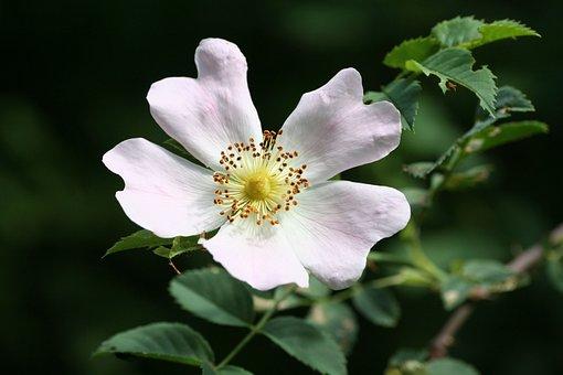 Flower, Wild, Rose Hips, Leaf, Spring, Petals