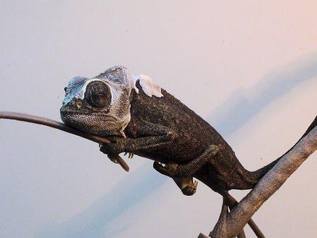 Chameleon, Gad, The Lizard, Cat, Waiting, Sleepyhead