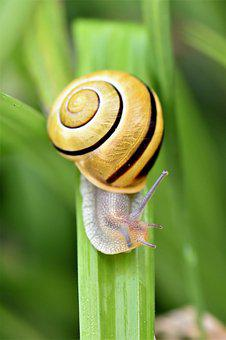 Snail, Animal, Creature, Nature, Shell, Slowly, Close
