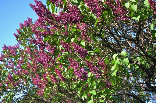 Spring, Bloom, Flowers, Flowering Tree