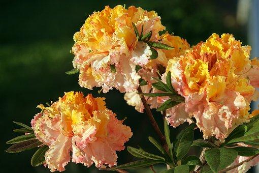 Azalea, Summer, The Sun, Yellow, Orange, Spring