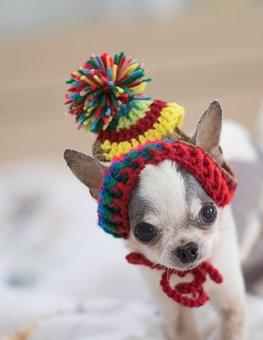 Chihuahua, Dog, Dog Doll, Tee Cup, A, Pets, Free Dog