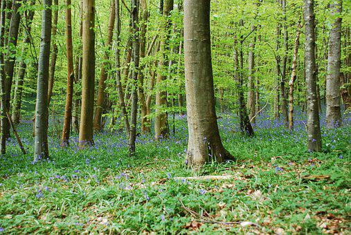 Bluebells, Beach, Woodland, Forest, Spring, Uk, Nature